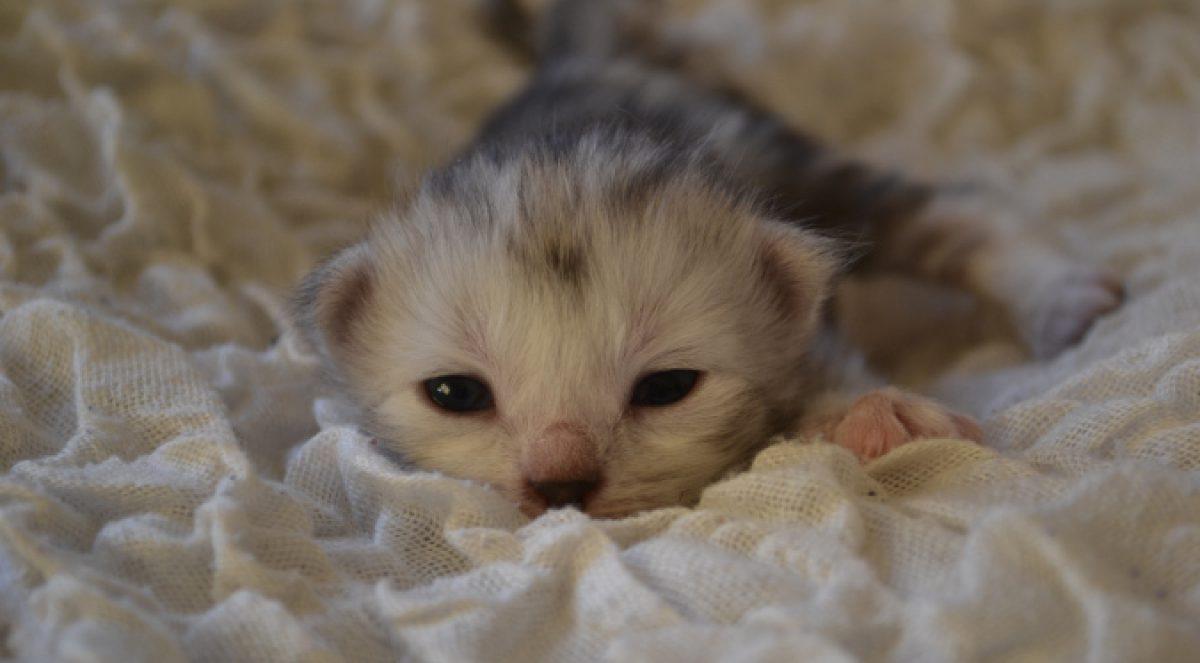 SE*Bellalice Sibiriska Katter